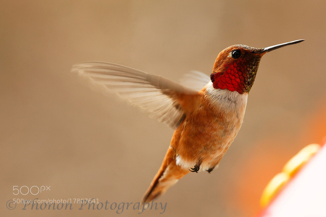 Photograph Rufous Hummingbird at feeder by Joe Dineen on 500px