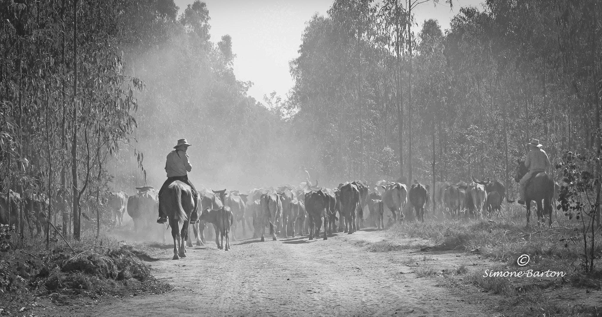 Photograph Cattle Muster by Simone Barton on 500px