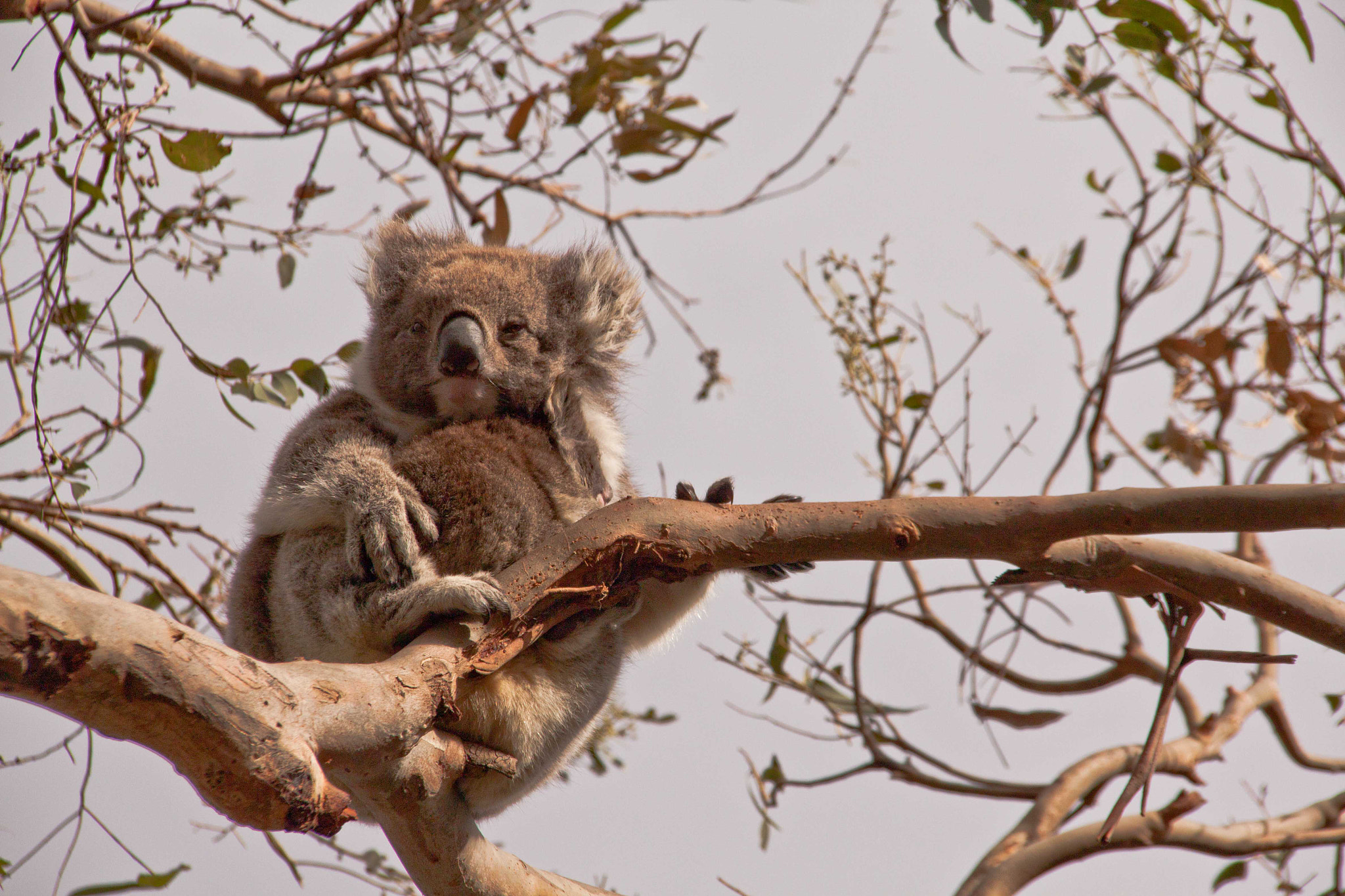 Photograph Koala by Bianca Anderson on 500px