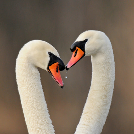 Swan couple, Nikon D300S, AF-S Nikkor 600mm f/4D IF-ED