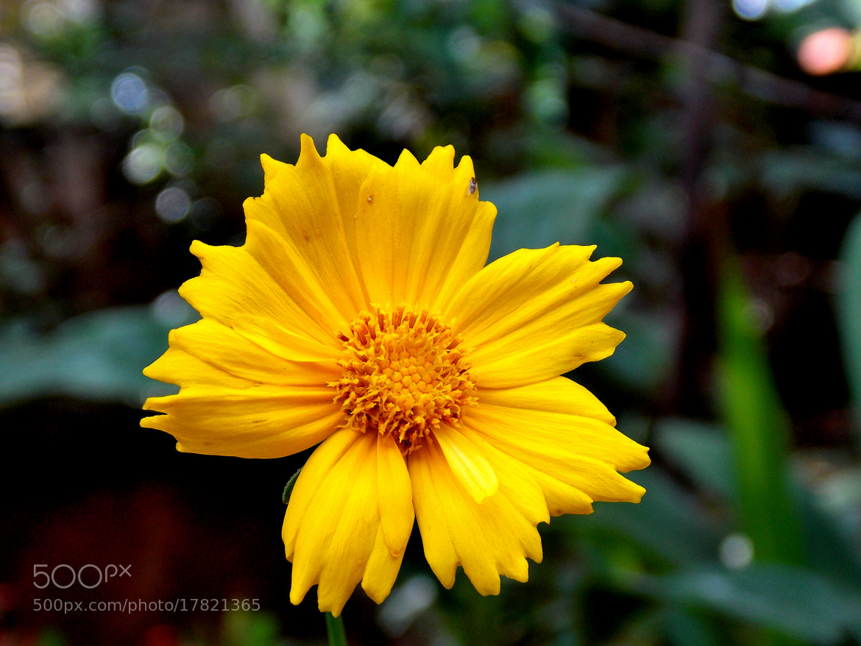 Photograph Sunflower by Ajaz Hameed on 500px