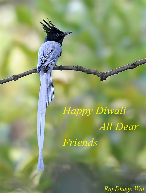 Photograph Asian Paradise Flycatcher by raj dhage on 500px
