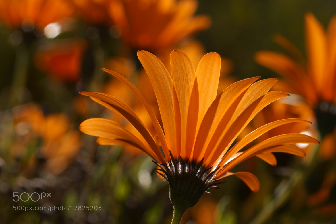 Photograph Backlit Namaqualand Daisy by Lillian Arnold on 500px