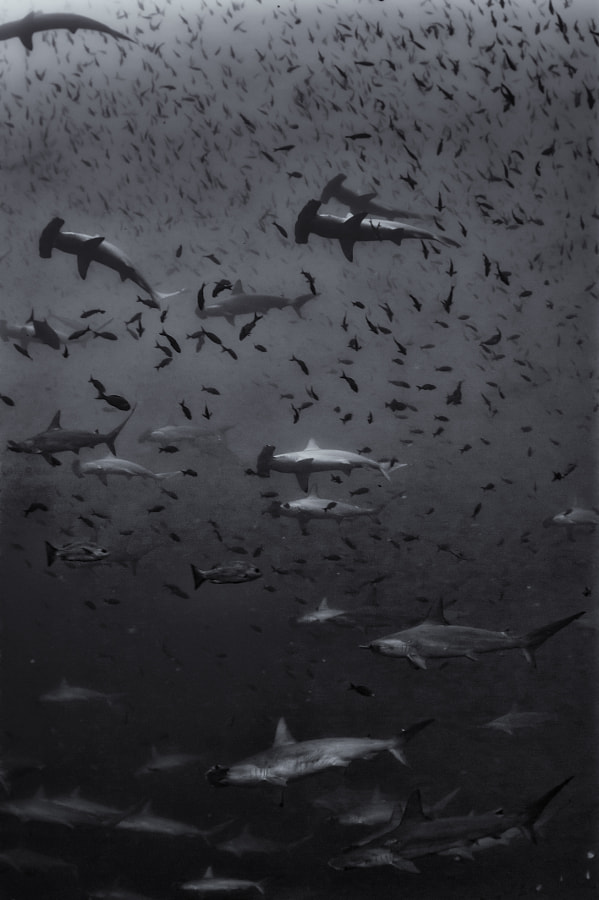 School of Hammerheads at Wolf in Galapagos #2