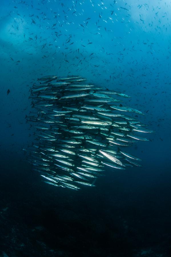 Tight formation of barracudas in Galapagos