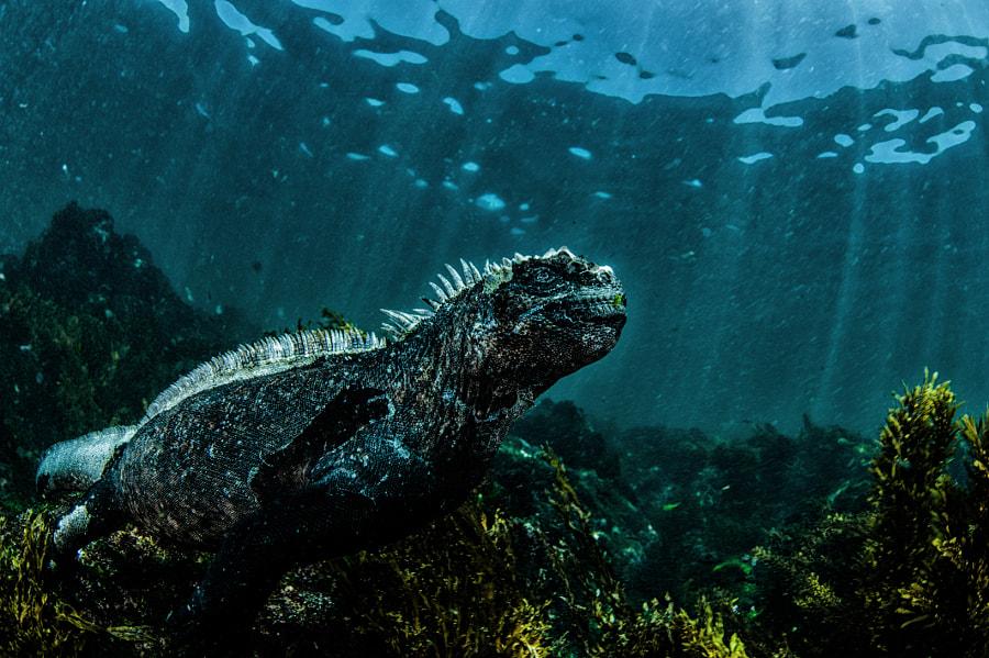 Marine Iguana lurking