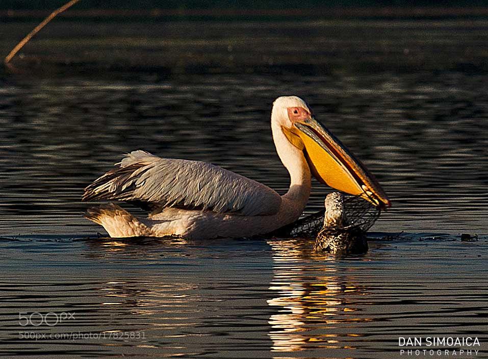 Photograph Hungry bird ... by Dan Simoaica on 500px