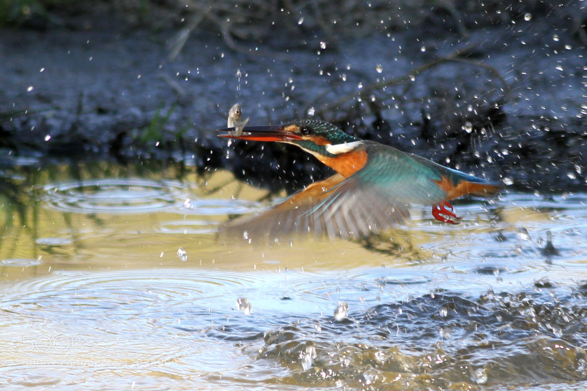 Photograph Kingfisher 20 by Yellow Monkey on 500px