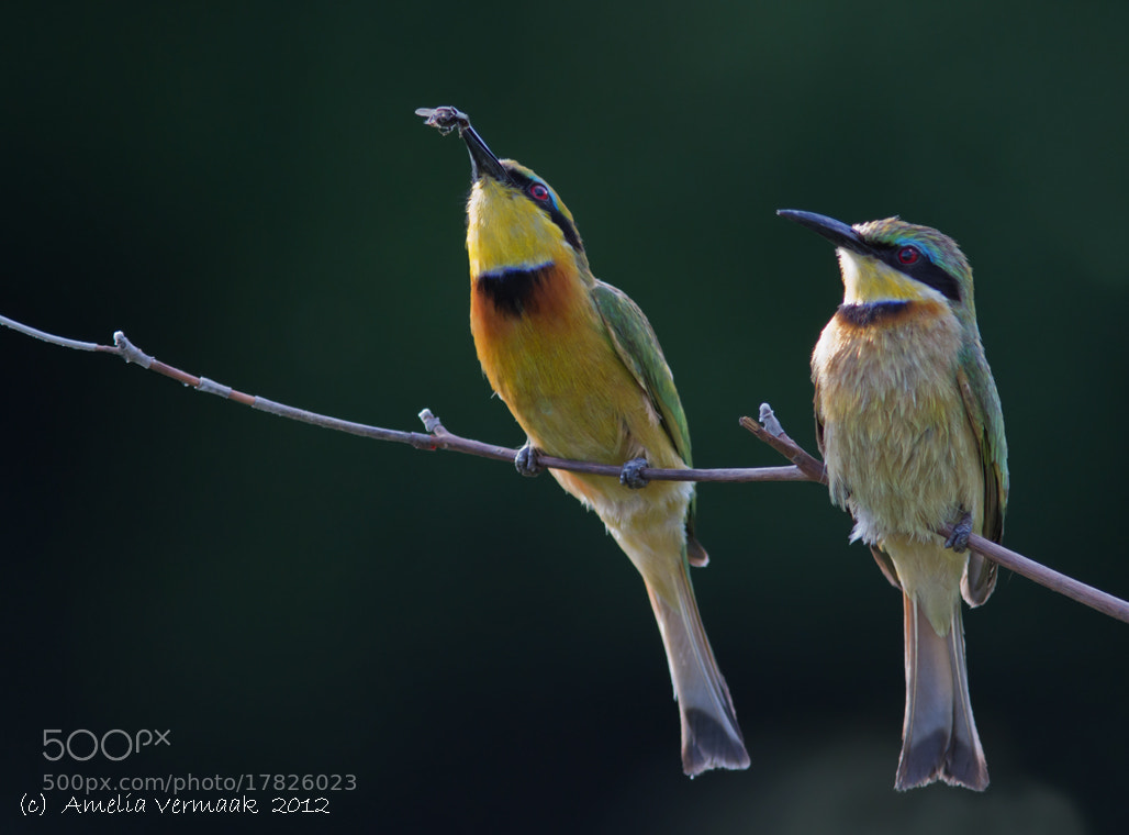 Photograph Little Bee-eaters by Amelia Vermaak on 500px