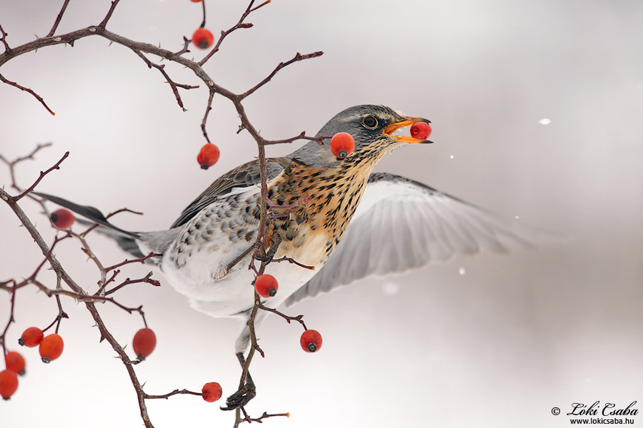 Photograph Rosehip - Thrush by Csaba Lóki on 500px