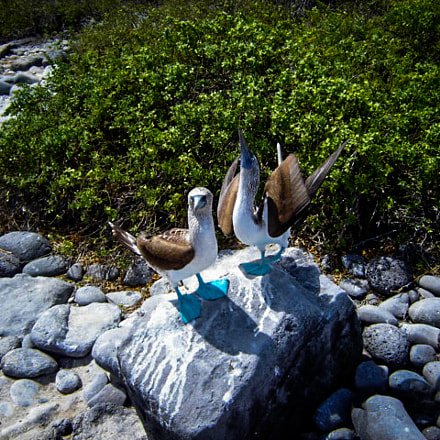 Blue Footed Boobies, Sony DSC-P73