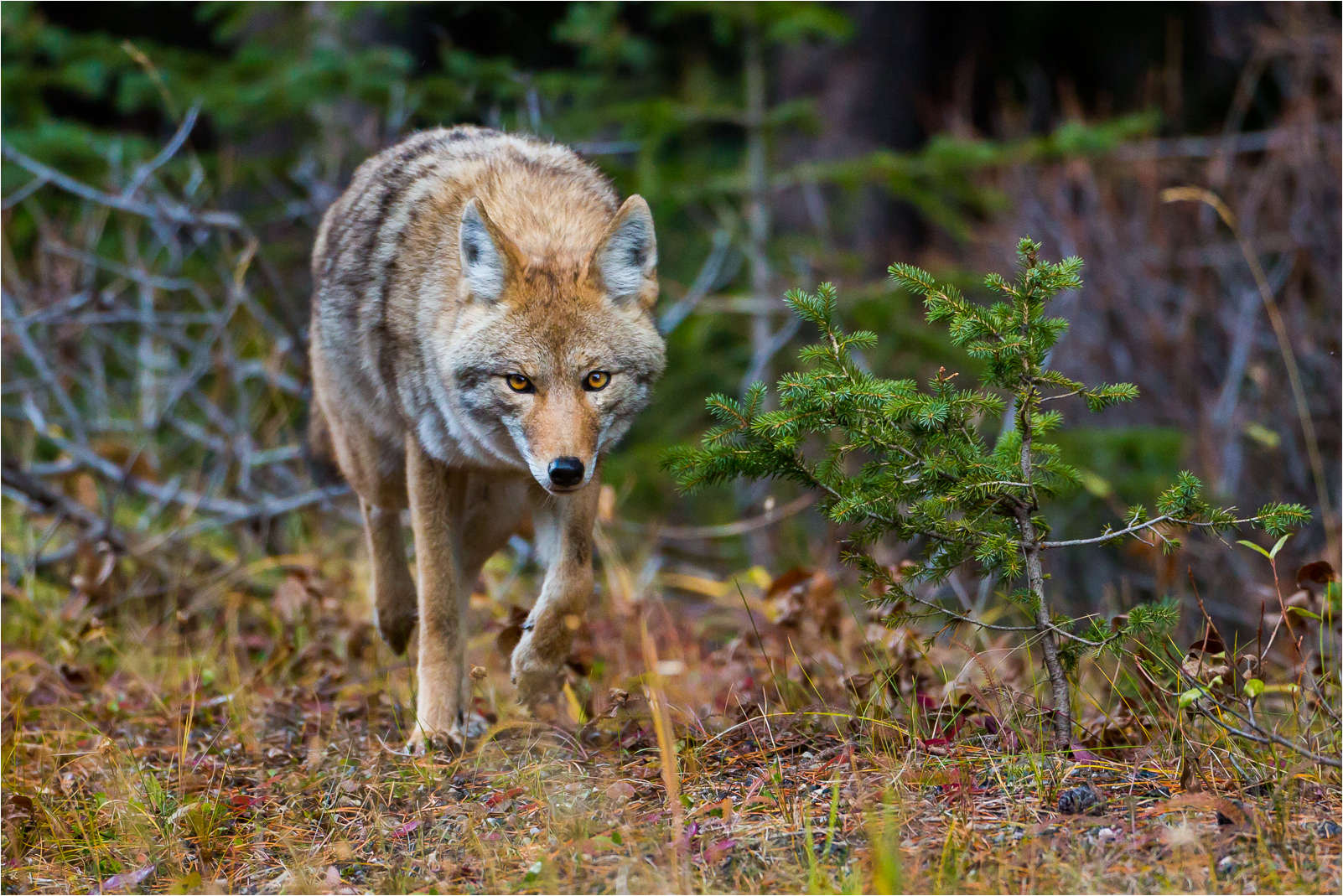 Photograph Coyote in Kananaskis by Christopher Martin on 500px