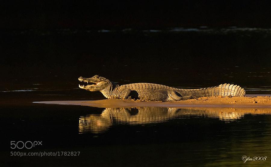 Caiman from The Pantanal , Brazil