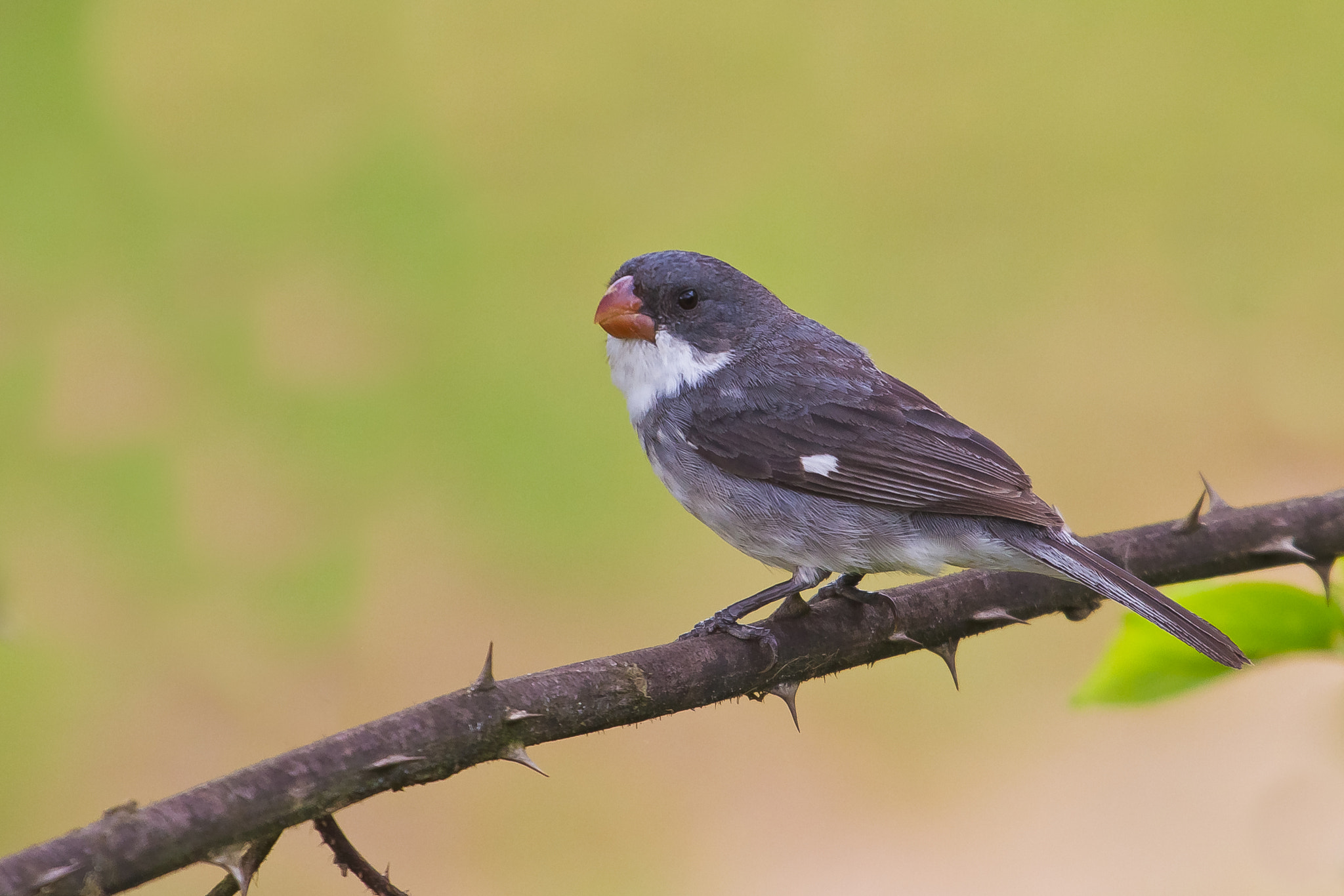 Photograph White-bellied Seedeater (Sporophila leucoptera) by Bertrando Campos on 500px