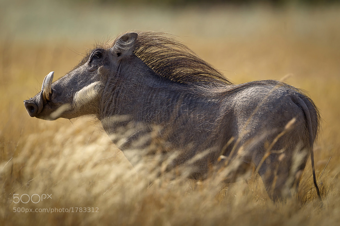 Photograph Blowing in the Wind - Warthog by RobsWildlife.com  - Rob Daugherty on 500px