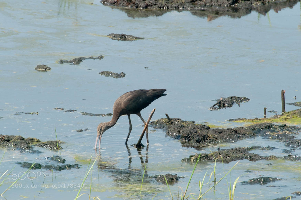 Photograph White Faced Ibis 1 by John Kennington on 500px