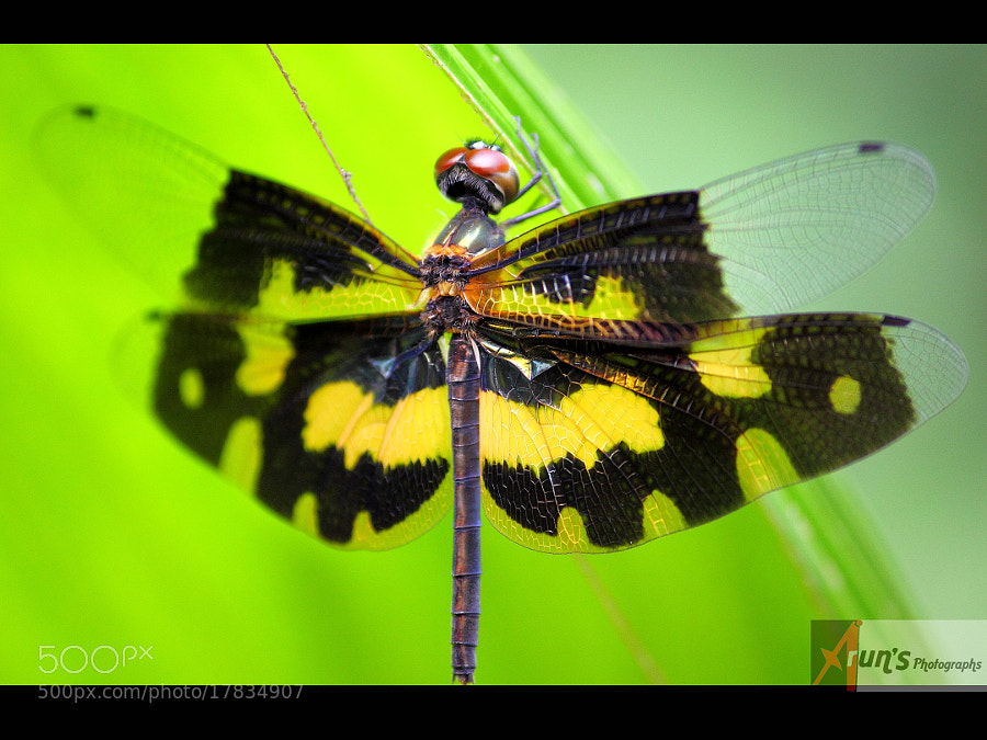Photograph Common Picture Wing/Variable Glider (Rhyothemis variegata)  by Arun P. Nair on 500px