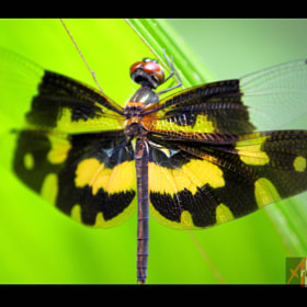 Common Picture Wing/Variable Glider (Rhyothemis variegata)  by Arun P. Nair (ArunPNair)) on 500px.com
