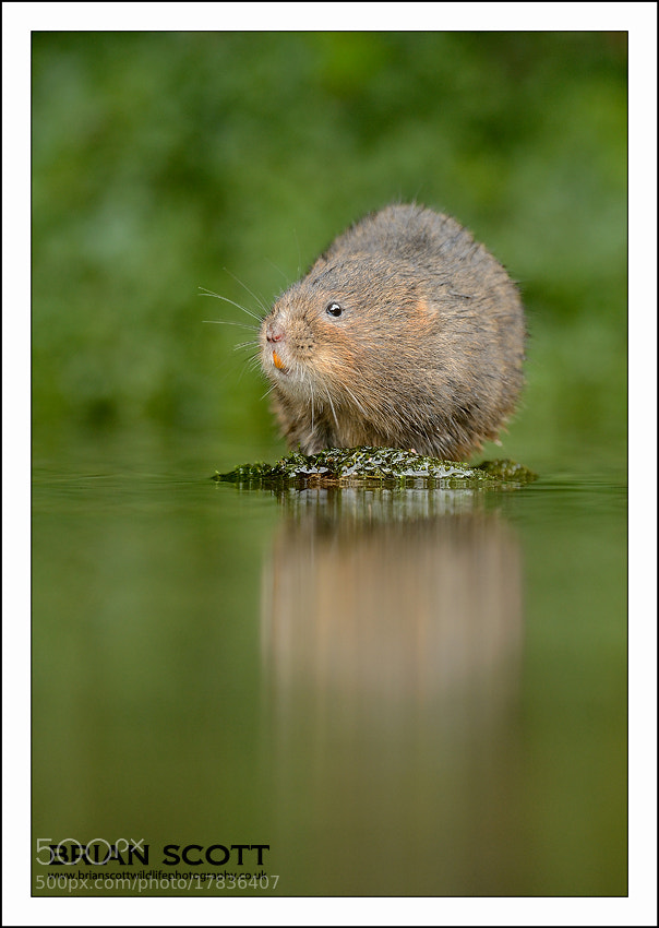 Photograph Water Vole by Brian Scott on 500px