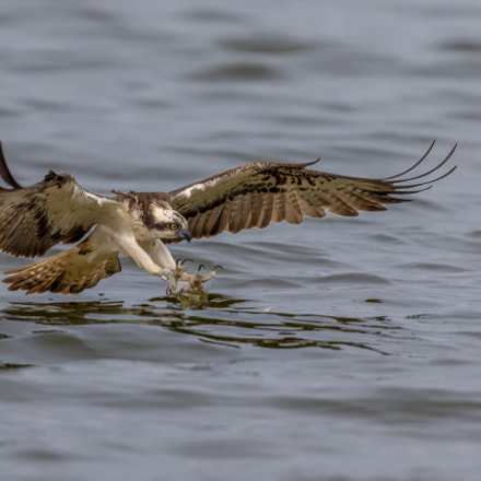 The fishing Osprey, Canon EOS 7D MARK II, Canon EF 400mm f/4 DO IS II USM