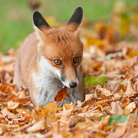 Young Red Fox by Oscar Dewhurst (OscarDewhurst)) on 500px.com