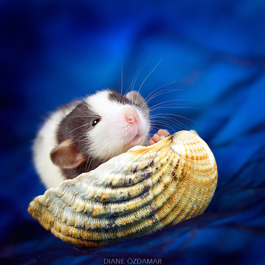 Fancy Rats, An Adorable Photo Series Showcasing The Softer