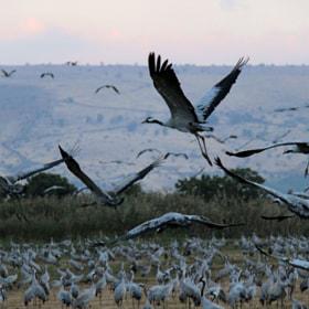 Hula valley birds