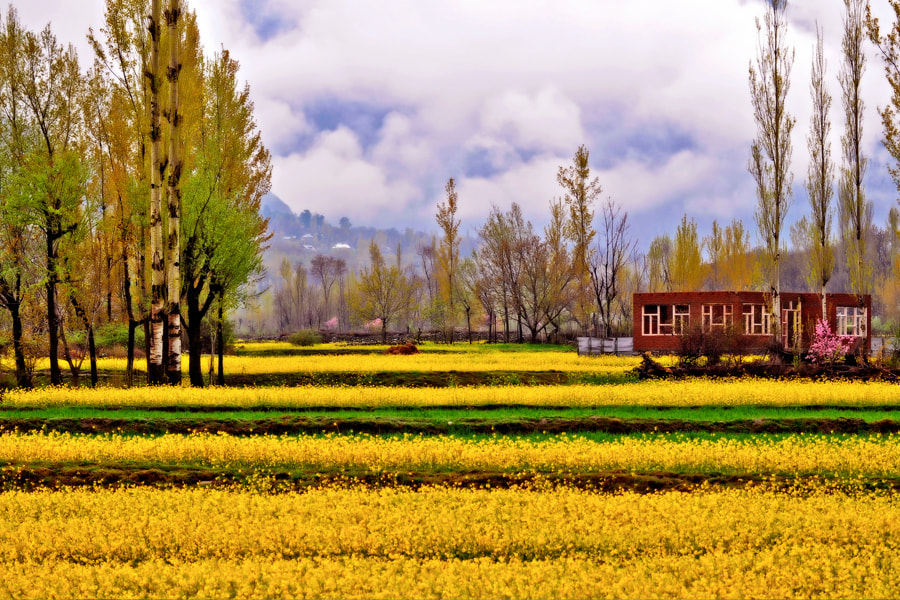 Photograph Mustard field by pavanthap s on 500px