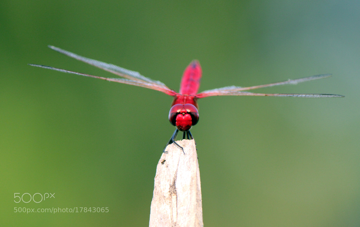Photograph Dragonfly... by Ananta Chowdhury on 500px