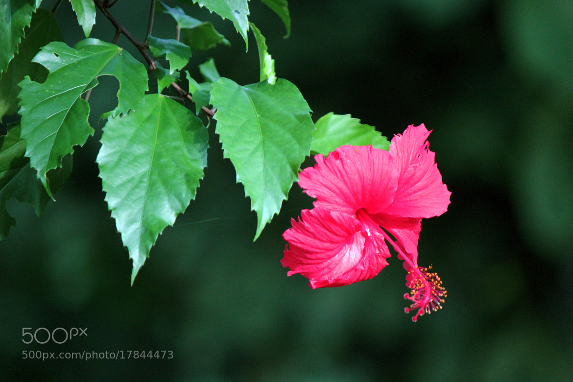 Photograph Hibiscus rosa-sinensis by Ananta Chowdhury on 500px