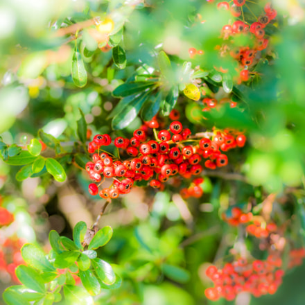 Pyracantha, Panasonic DMC-GX7MK2, Lumix G 42.5mm F1.7 Asph. Power OIS
