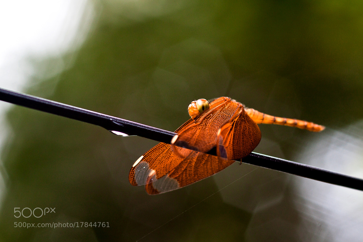 Photograph Dragonfly by Anoop chandriyan on 500px
