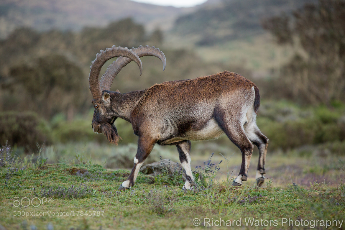 Photograph Walia Ibex by Richard Waters on 500px