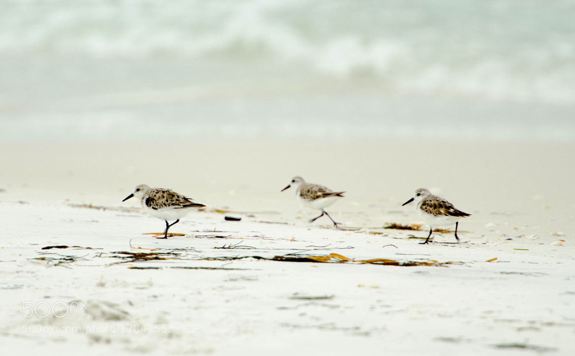 Photograph Sandpipers by Ray Campbell on 500px
