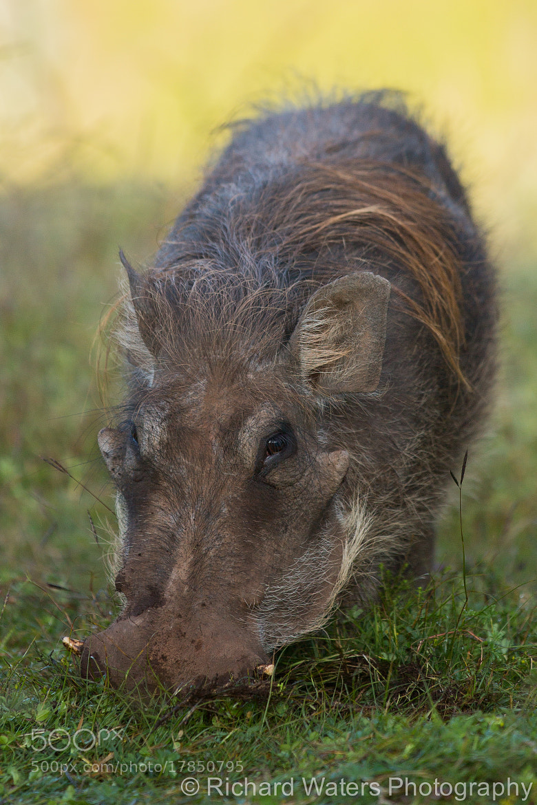 Photograph Warthog by Richard Waters on 500px