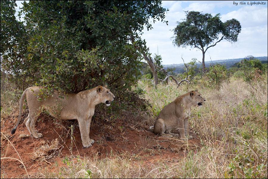 Lionesses of Tarangire