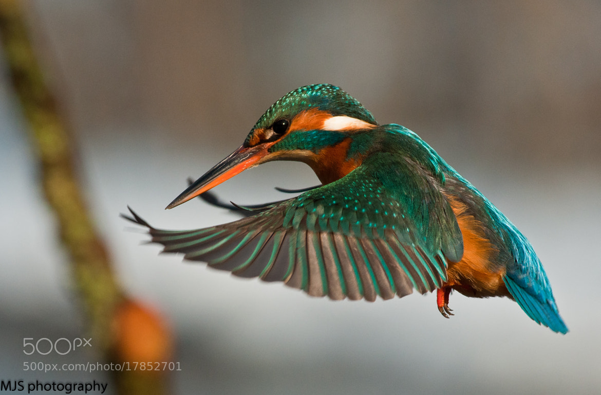 Photograph kingfisher in flightkingfisher by Mark Slocombe on 500px