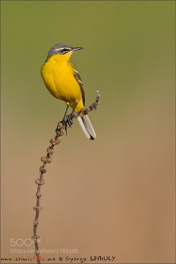 Photograph Western Yellow Wagtail (Motacilla flava) by György Szimuly on 500px