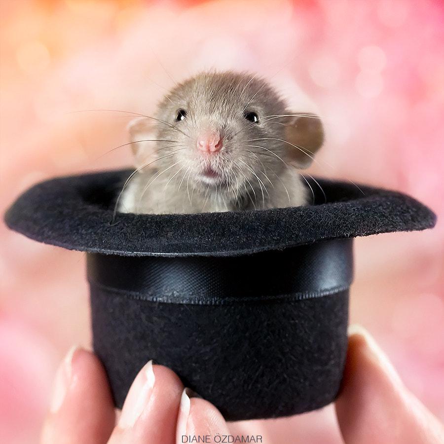 Rat in a hat by Diane Özdamar on 500px.com