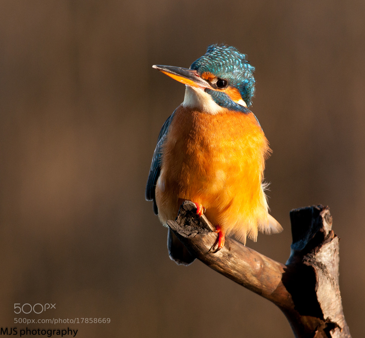 Photograph female kingfisher by Mark Slocombe on 500px