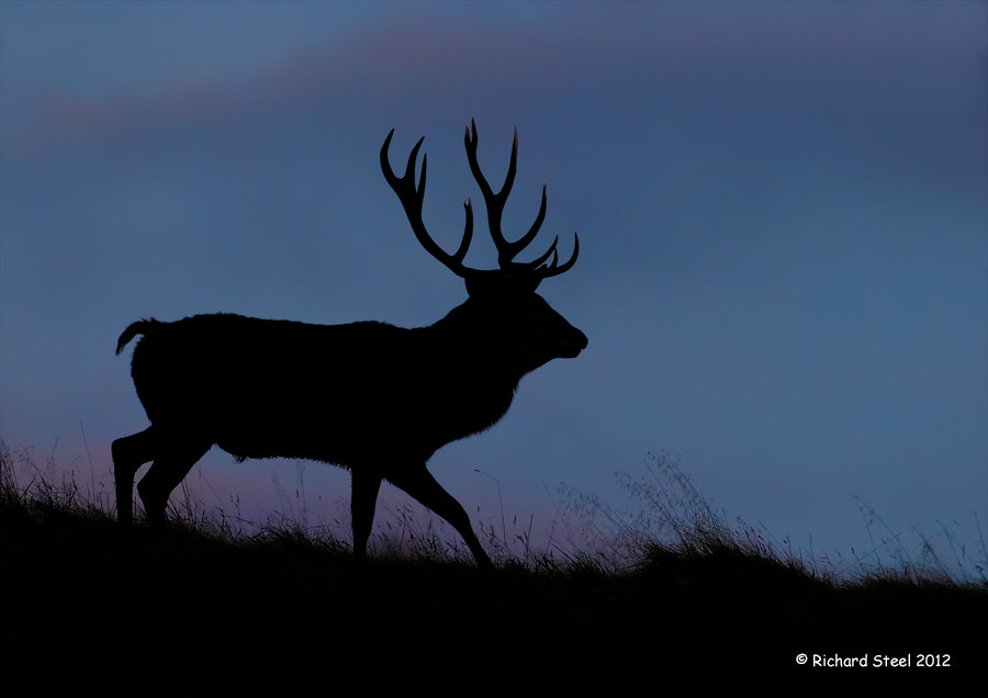 Photograph Twilight Stag by Richard Steel on 500px