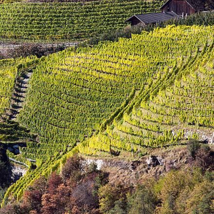 Autumn, vineyards