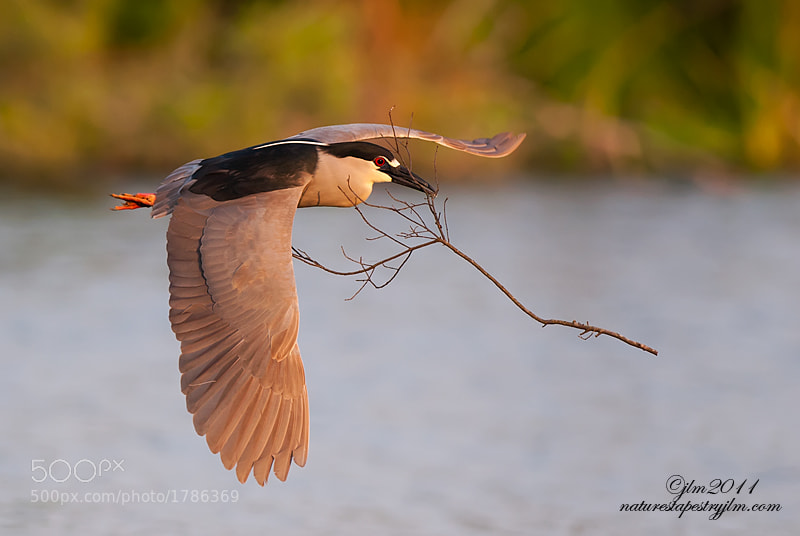 Photograph Black Crown Night Heron by Judylynn Malloch on 500px