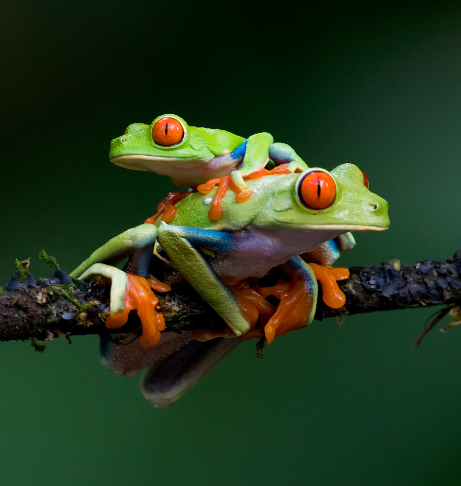 Photograph Two Red Eyed Frogs by Judylynn Malloch on 500px