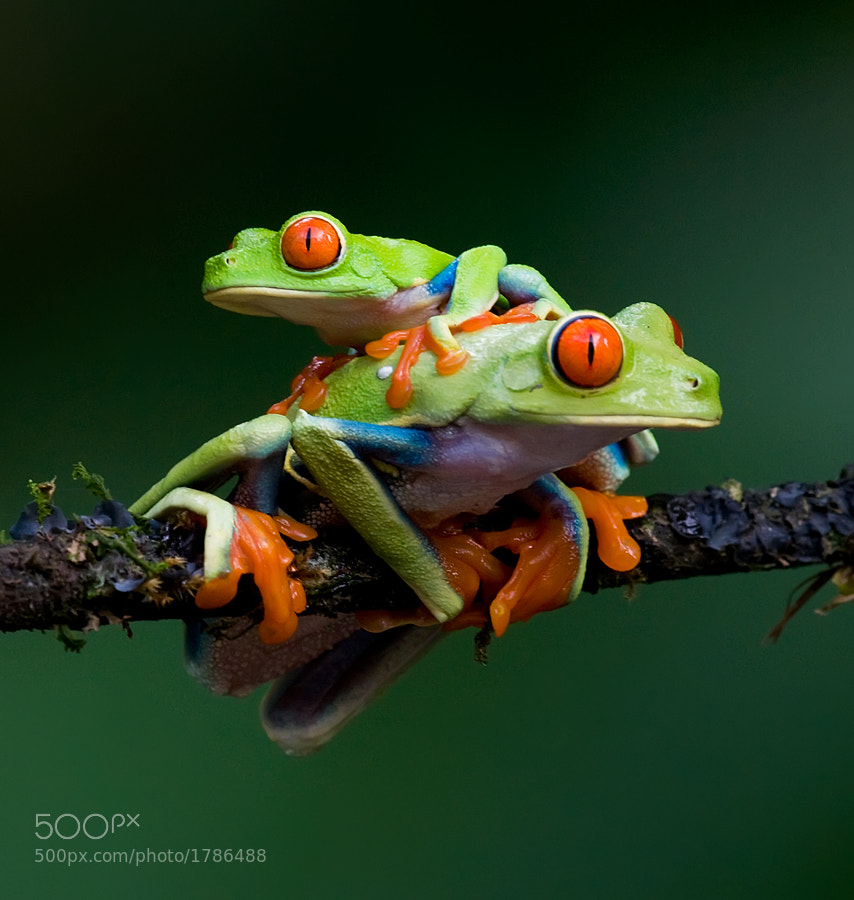 These two frogs were photographed in El Selva, Costa Rica.