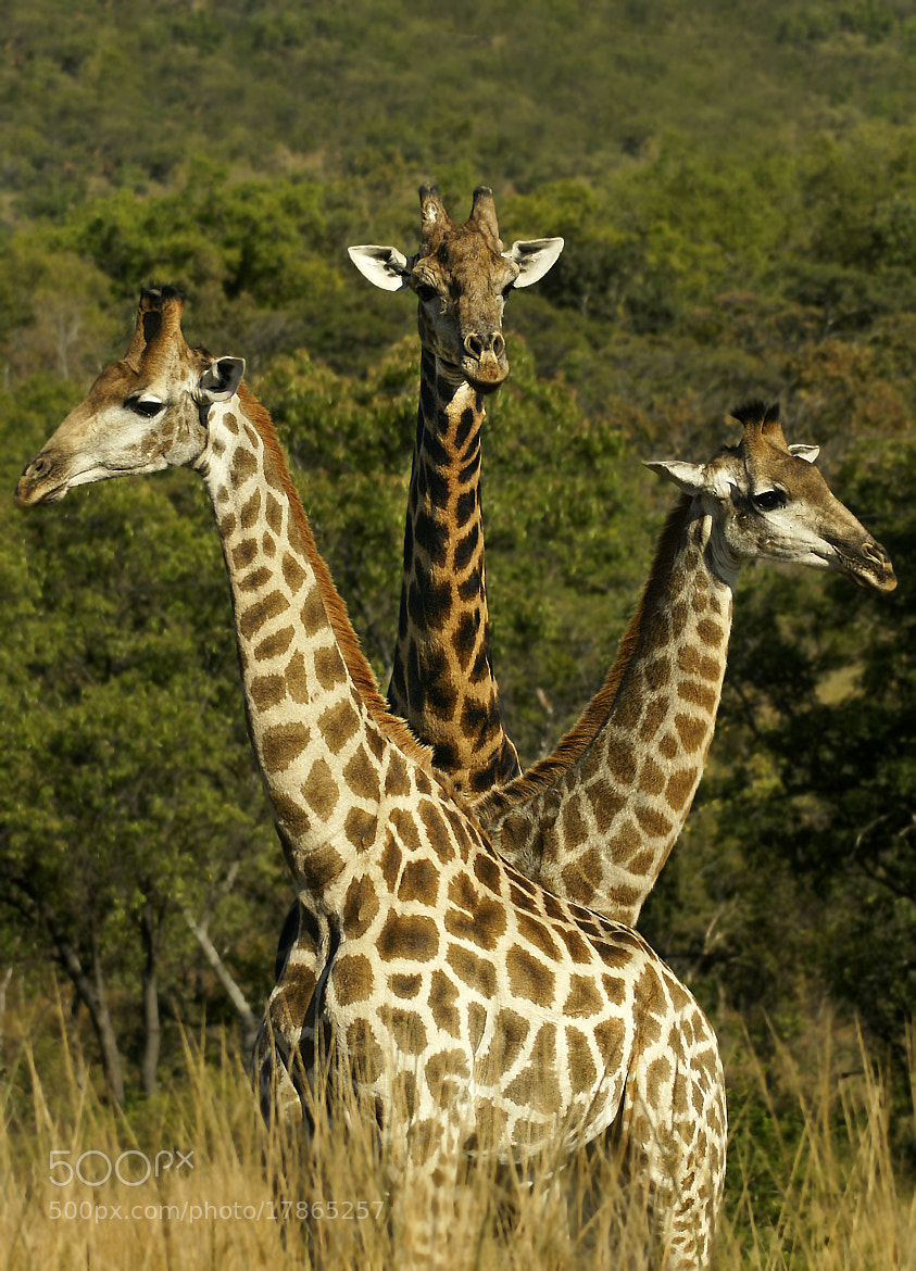 Photograph Trio of Giraffe by Rudi Hulshof on 500px