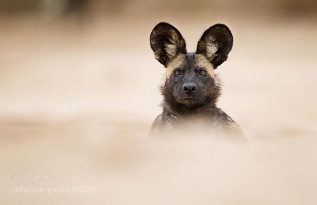Photograph Sandy Dog by Marlon du Toit on 500px