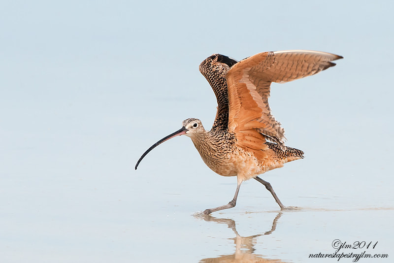 Taken as the curlew was beginning to take- off.