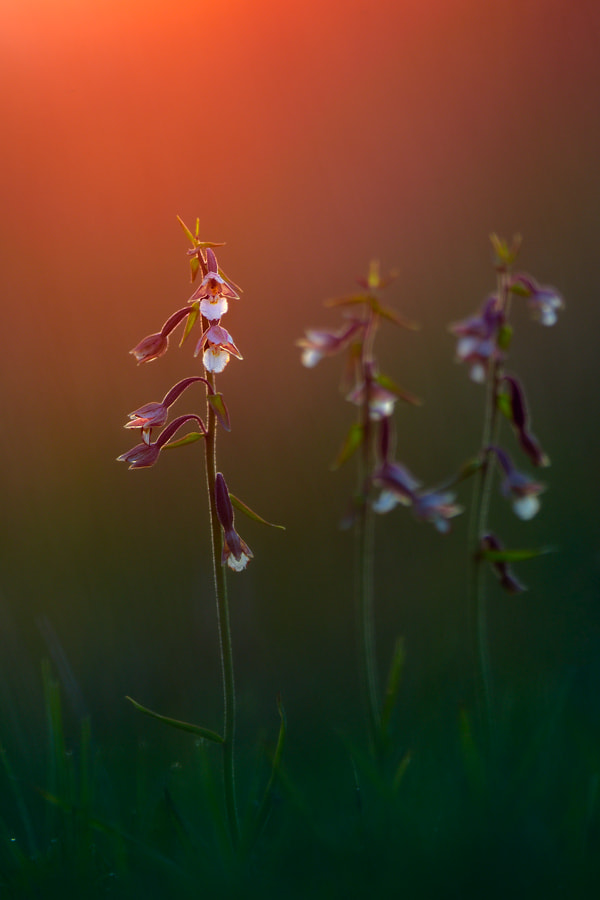 Photograph twilight orchid by Martin Amm on 500px