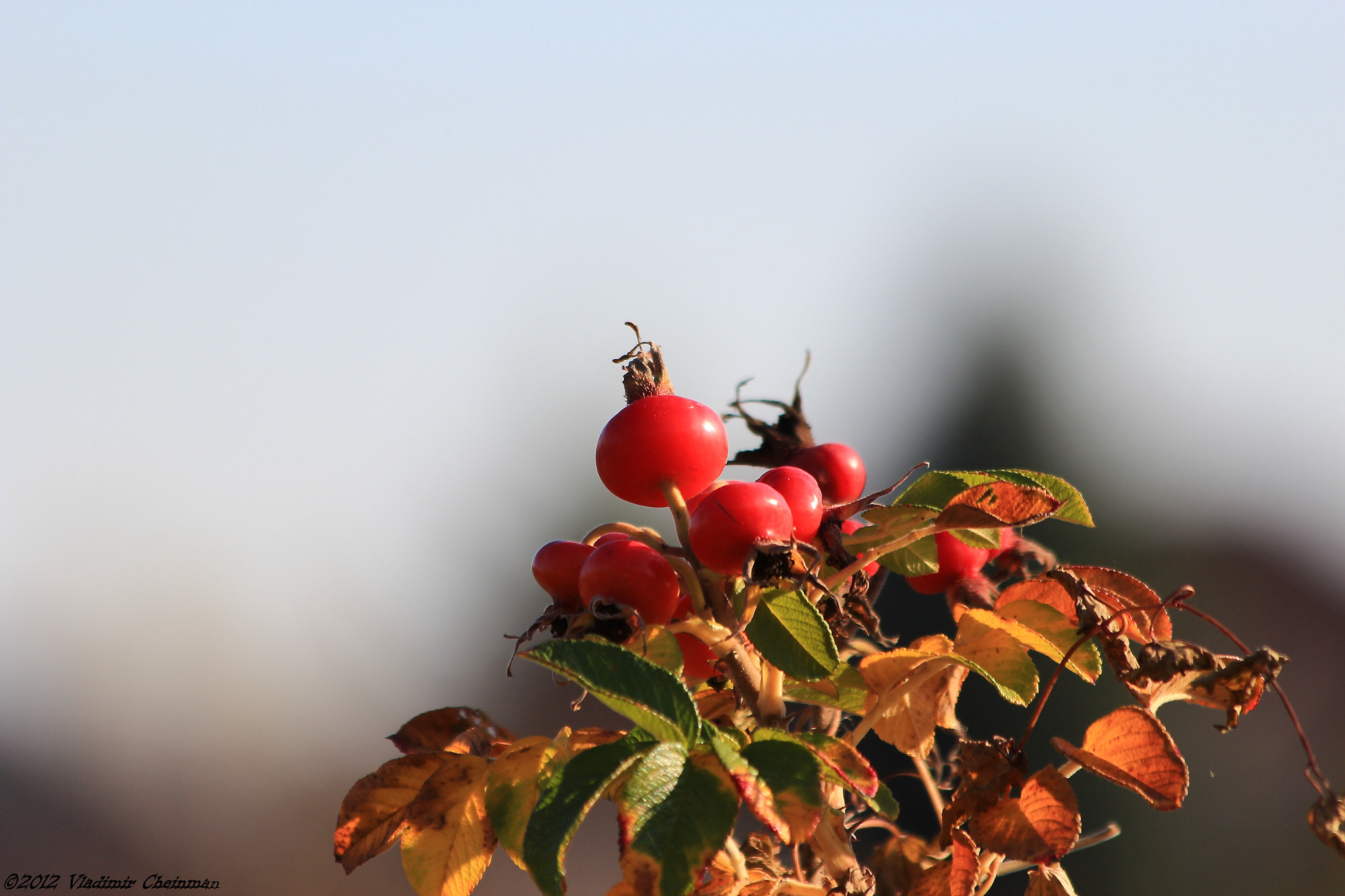 Photograph The Rose hip by Vladimir Cheinman on 500px